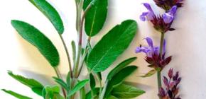 Какими травами можно полоскать горло при ангине?