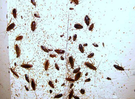 Тараканы как причина аллергического насморка