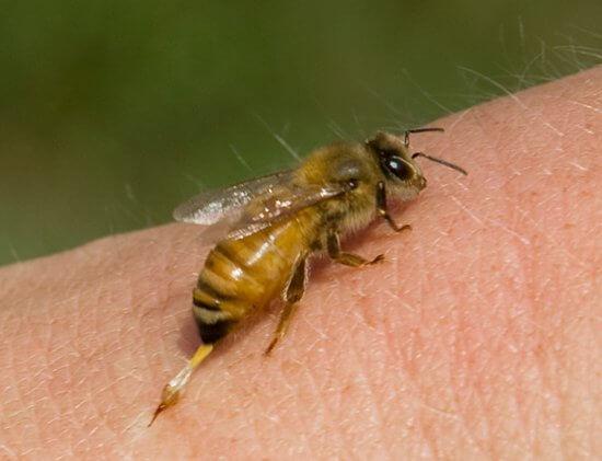 Пчела во время укуса