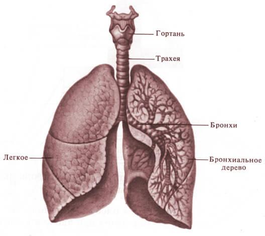 Именно в трахее, бронхах и альвеолах оседает аэрозоль из небулайзера. Слизистая оболочка носа остается необработанной.