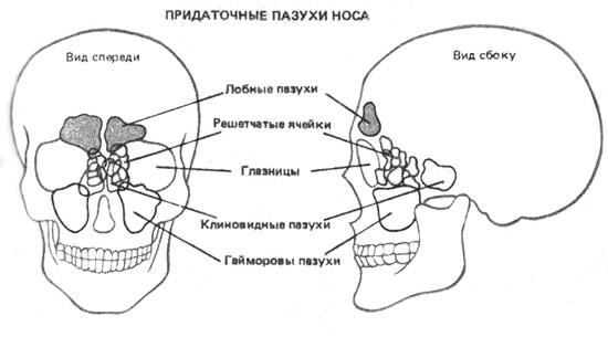 Придаточные пазухи носа (схема)