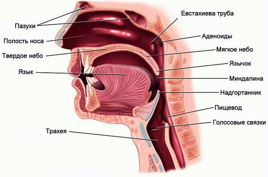 Строение верхних дыхательных путей