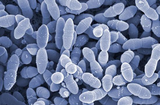 Стрептококк (Streptococcus pneumoniae)