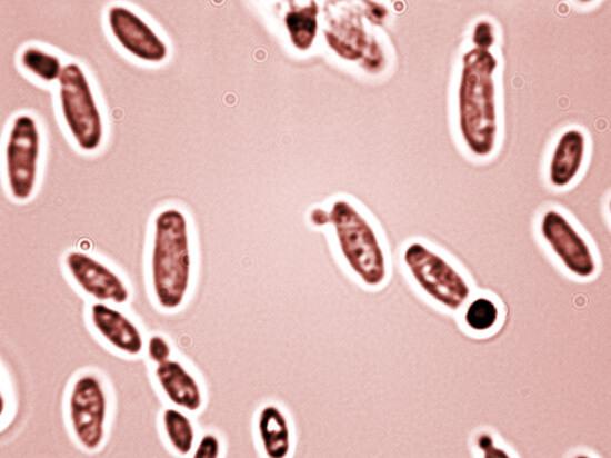 В норме и грибки, и бактерии существуют в тканях глотки, но взаимно сдерживают размножение друг друга.