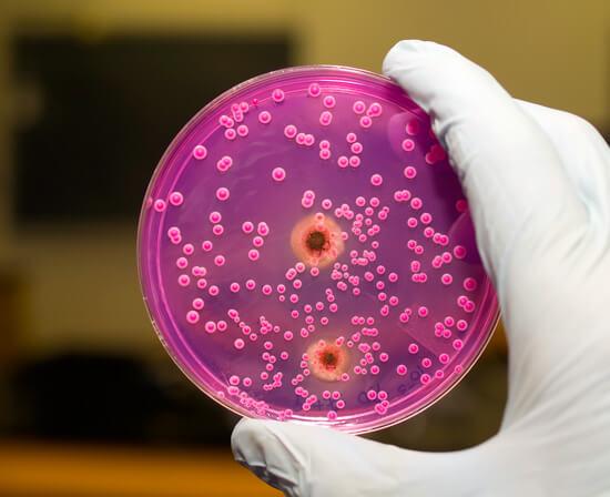 Колония грибков Candida в чашке Петри.