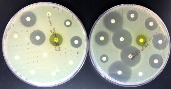 Стрептококк чаще оказывается чувствительным к пенициллинам, чем стафилококк.
