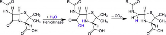 Пенициллиназа - фермент, являющийся побочным продуктом обмена веществ у бактерий, устойчивых к пенициллинам.