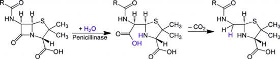 При действии пенициллиназы разрушается лактамное кольцо молекулы антибиотика, из-за чего все вещество инактивируется.