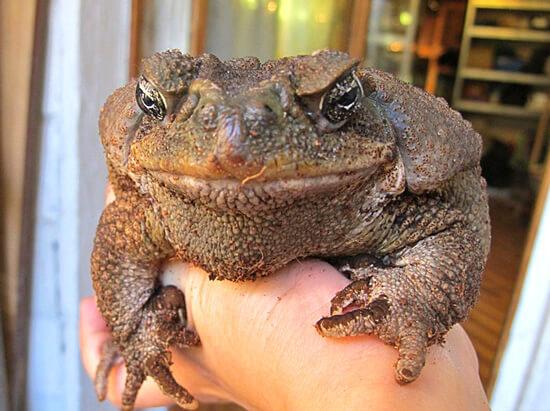 Лечить ангину народными средствами - все равно, что следовать рекомендациям знахарей о желательности подышать на жабу или закопать картошку в полнолуние на перекрестке трех дорог.