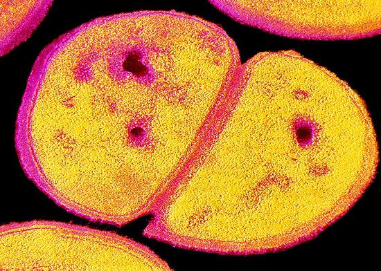 Стафилококк известен тем, что очень часто оказывается устойчивым к различным антибиотикам.