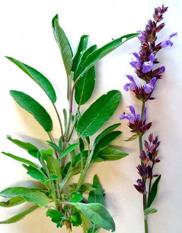 Шалфей - одна из наиболее часто употребляемых для полоскания горла трав.