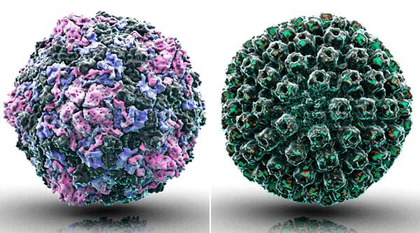 Отличия во внешнем виде капсида этих вирусов более заметны, чем отличия в проявлениях вызыаемых ими болезней.