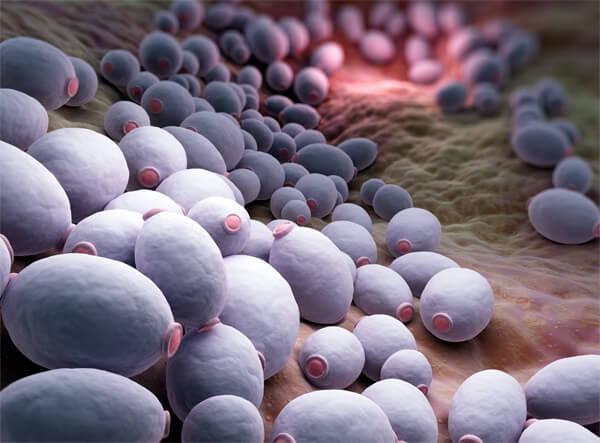 Колония Candida albicans