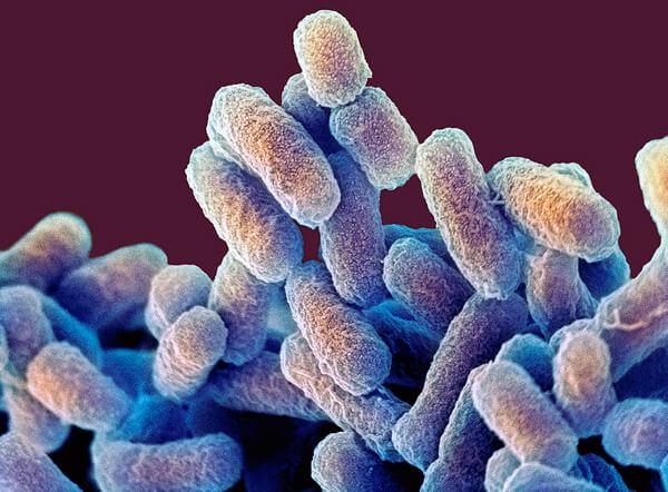 Кишечная палочка - лучше всего исследованная и чаще всего используемая в производстве лекарств бактерия.