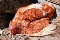 Симптомы птичьего гриппа у кур