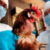 Птичий грипп у людей и его лечение