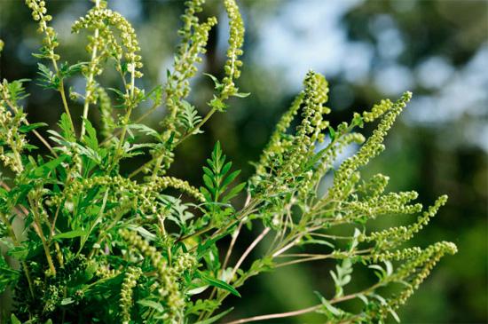 Цветы амброзии