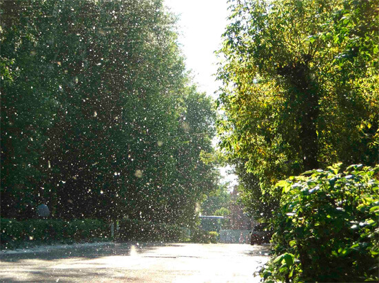 Тополиная аллея весной