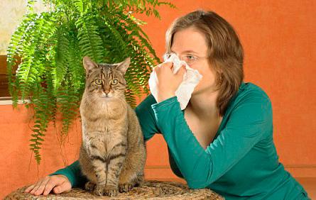 Аллергия на кошачью шерсть является очень распространенной.