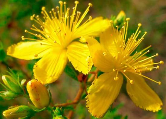 Трава зверобоя - отличное средство для приготовления ингаляций от насморка