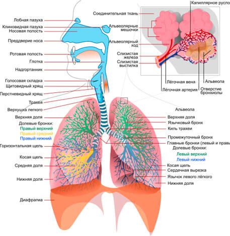 Насморк локализован в верхних дыхательных путях, в свою очередь небулайзер обрабатывает нижние дыхательные пути и легкие.