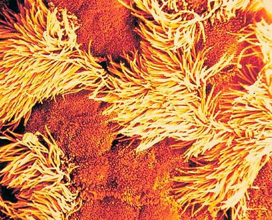 Реснитчатый эпителий