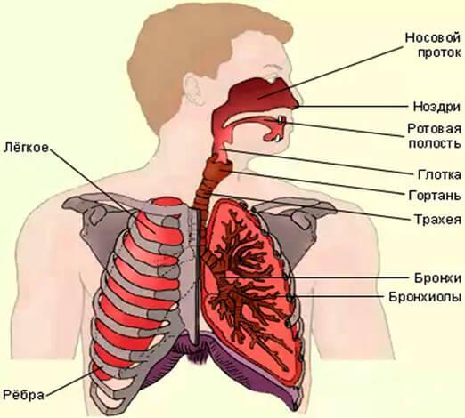 Дыхательную система человеку принято разделять на верхние и нижние дыхательные пути.