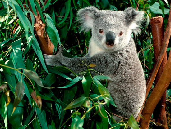 Эвкалипт и коала