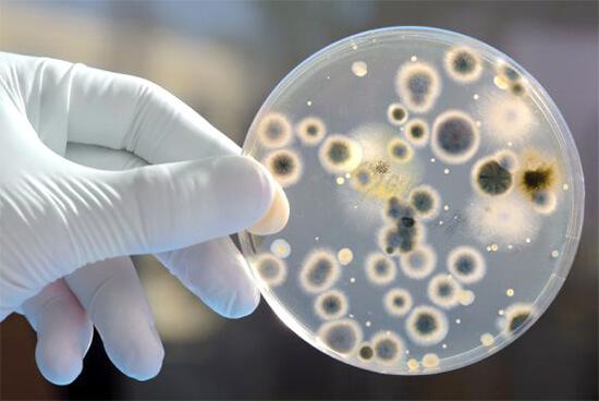 Пенициллиновый грибок в чашке Петри