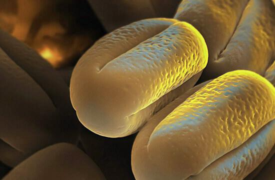 Пыльца клевера