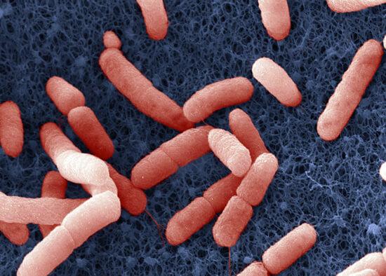 Бактерия Francisella tularensis, вызывающая туляремию