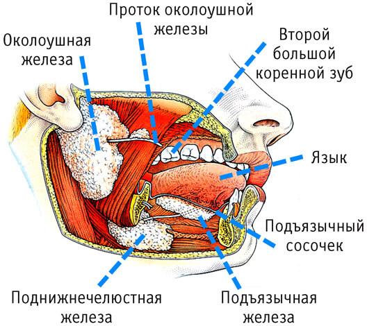 Для контроля размножения грибков и бактерий в ротовой полости необходимо поддержание нормальной работы слюнных желез.