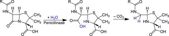 Именно благодаря пенициллиназе бактерии оказываются устойчивыми к чистым антибиотикам пенициллиновой группы.