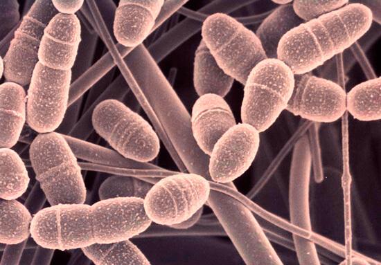 Стрептококк известен тем, что может поражать практически все ткани организма.