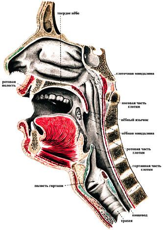 """Если врач называет ангиной любое воспаление горла, лечиться у такого """"специалиста"""" не стоит."""