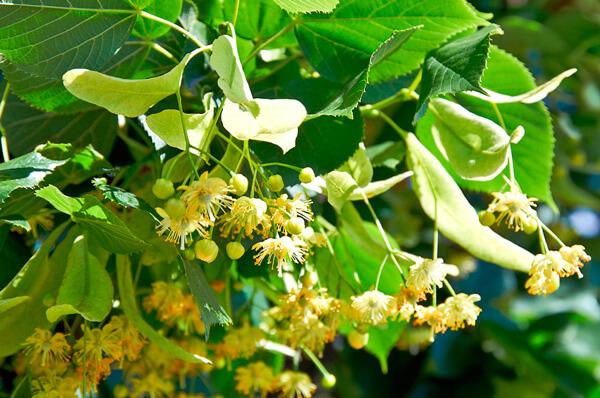 Липовый цвет - одно из известнейших лекарственных растений.