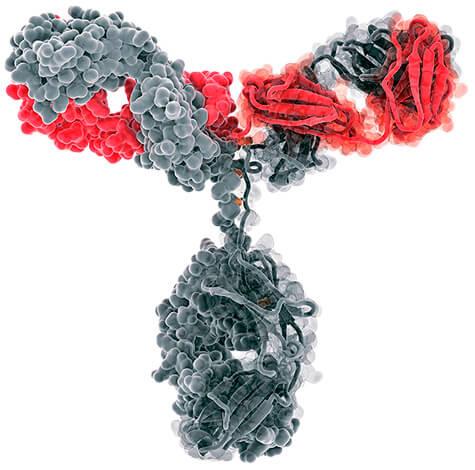 После первой встречи организма с вирусом иммунная система начинает производить антитела, которые в дальнейшем надежно защищают организм при повторных проникновениях той же инфекции.