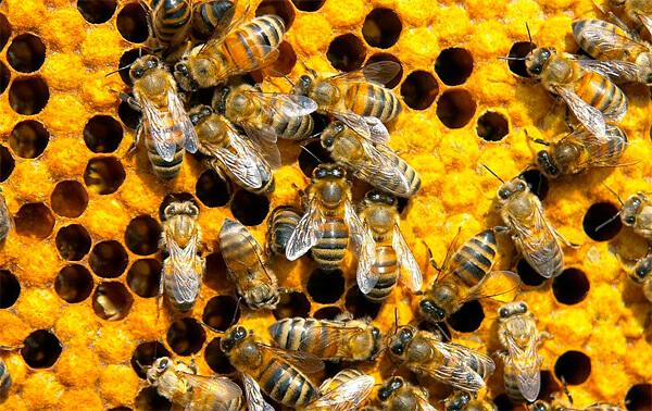 Не известно, каким образом экстракт из пчёл может способствовать излечению ангины.
