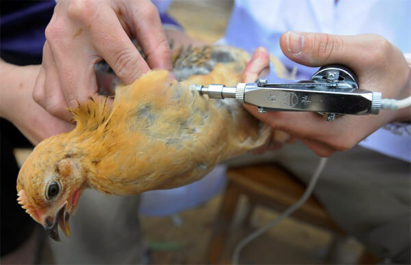 Вакцина против птичьего гриппа для птиц разработана и активно применяется. Надобности в ней для человека на сегодняшний день нет.