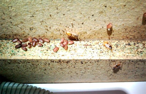 Дети часто реагируют постоянным насморком на наличие хитина насекомых в пыли в доме.